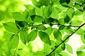 Backlit hornbeam leaves
