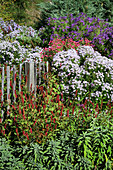 Autumnal herbaceous border of American asters and knotweed next to fence