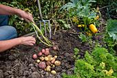Potato harvesting in an allotment garden