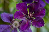 Blüte von Clematis 'Mrs. Thompson'