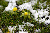 Winter aconite growing in the thawing snow in a meadow