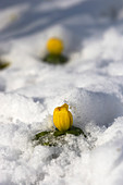 Winter bulbs under a blanket of snow