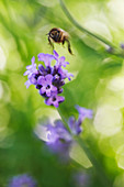 Bee approaching lavender blossom