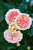 Double roses seen from above