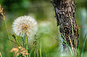 Dandelion clock and old grapevine trunk