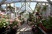 Pink geraniums in greenhouse