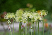 Seed heads of pasque flower