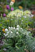 Samenstände von Küchenschelle stehen über den Blüten