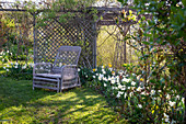 Wicker armchairs by the bed with flowering daffodils and pergola with trellis