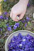 A child's hand picking violets