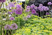 Ornamental allium flowers in a garden