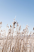Frosty reeds against a blue winter sky