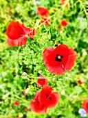 Wildflower meadow with poppy flowers