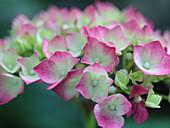Opening hydrangea flowers
