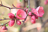Flowering branch of Japanese quince