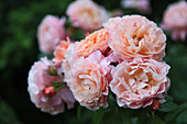 Apricot-coloured roses (rose 'Marie Curie')
