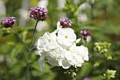 Verbena bonariensis and white phlox