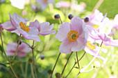 Autumn anemone 'September charm