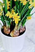 Yellow daffodils in a pot