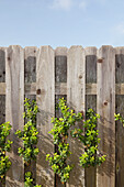 A growing climbing garden shrub growing through a wooden picket fence in Thousand Oaks, California, USA, Shrub growing through a wooden fence