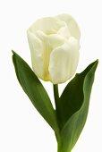 Tulip 'Calgary'