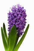 Hyacinth 'Purple Voice'