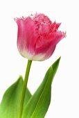 Tulip 'Fancy Frills'