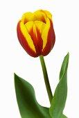 Tulip 'Andre Citroen'