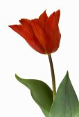 Tulip 'Typhoon'