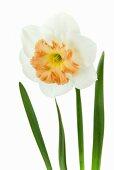 Narcissus 'Precocious'