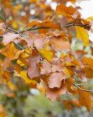 Rotbuche (Fagus sylvatica) mit herbstlichen Blättern