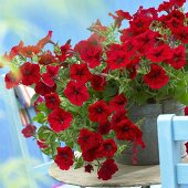 Petunia Viva 'Red 3434' in zinc bucket