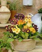 Mixed primulas (Primula pubescens)