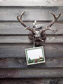 Antlers with a post card hanging on a wooden wall