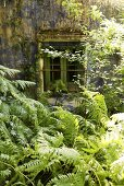 Looking over ferns to a weathered house facade with barred windows