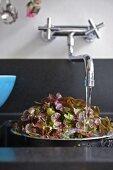 Lettuce leaves in colander under running water