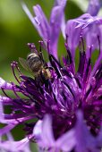 A bee inside a purple flower