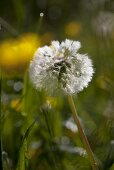 A wilted dandelion clock