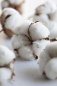 Cotton - ripe cotton bolls