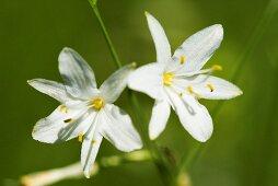 Spider plant (anthericum)