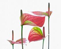 A flamingo flower (anthurium)