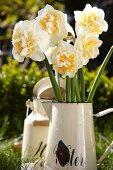 Narcissus flowers in an enamel jug in a garden