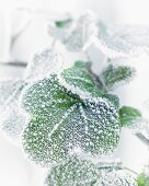 Frost on ivy leaves