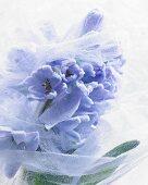 Hoarfrost on blue hyacinths