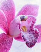 Hoarfrost on a pink orchid (close-up)