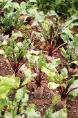 Beetroots in a vegetable patch