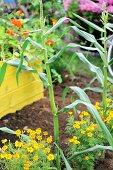 Corn plants in a garden