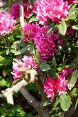 Pinkfarbene Rhododendronblüten im Sonnenlicht