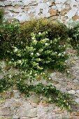 Flowering plants growing in old stone wall