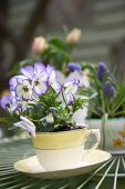Violas planted in teacup on garden table
